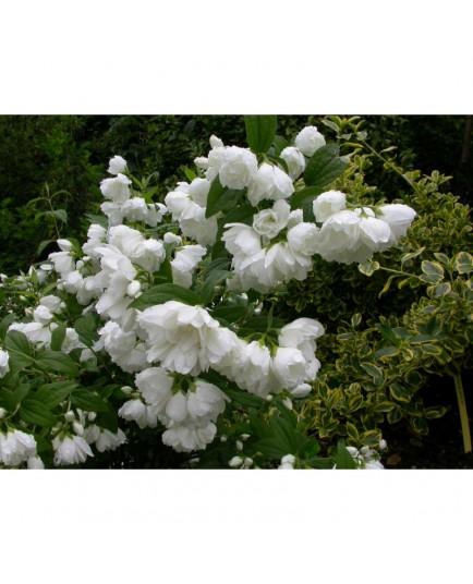 Philadelphus 'White Rock' - Hydrangeaceae - seringat