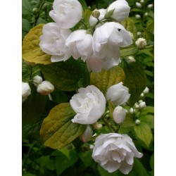 Philadelphus 'Yellow Hill' - Seringat doré