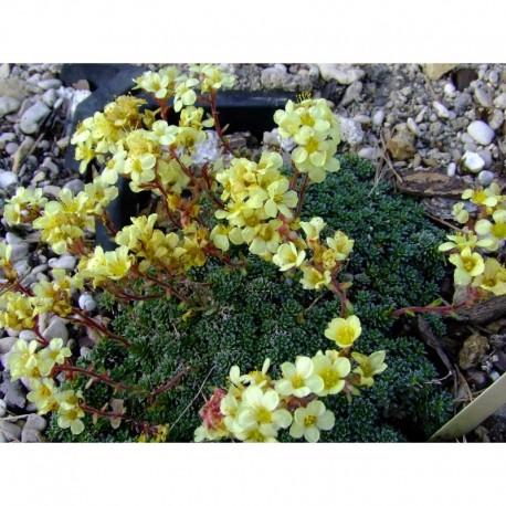 Saxifraga borisii x 'Vesna' - saxifrage
