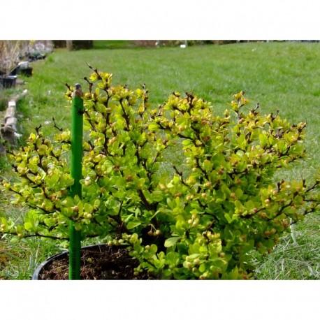 Berberis thunbergii 'Tiny Gold'® - Berberis, épine vinette