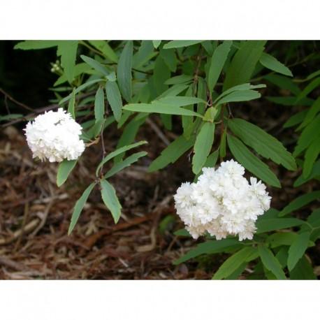 Spiraea cantoniensis 'Flore Pleno' - Spirée de Canton