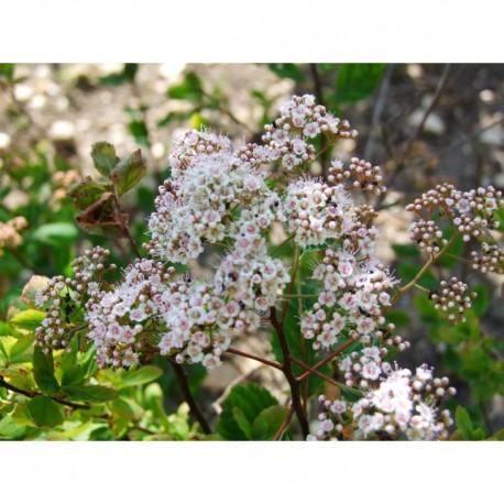 Spiraea densiflora -Spirée