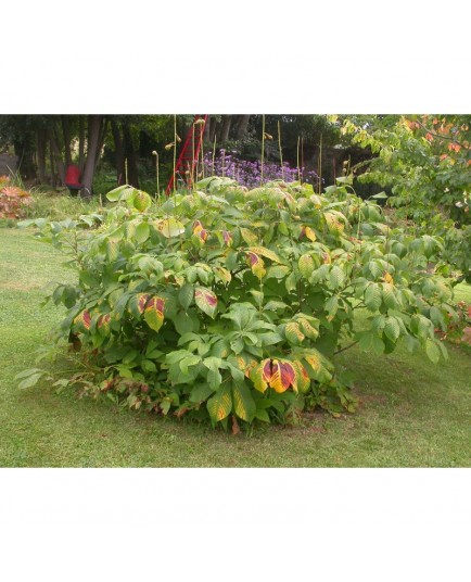 Aesculus parviflora -marronniers nains, pavier