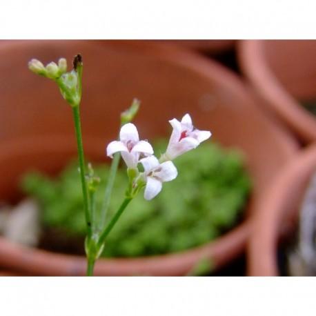 Asperula cynanchica - Asperule, herbe à l'esquinancie