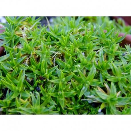 Arenaria pungens - sabline piquante, sabline argenté