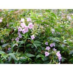 Abelia parvifolia - Abélie de Schumann