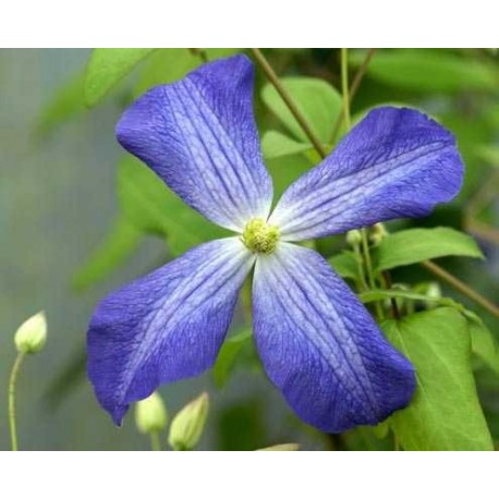 Clematis 'Jenny' - Clematite