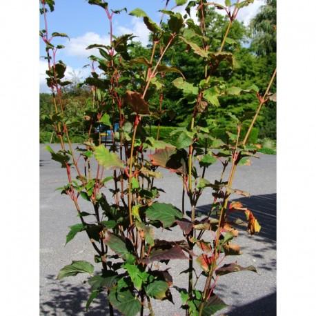 Acer pectinatum 'Mozart' - érable à peau de serpent.