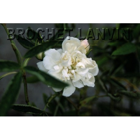 Rosa alba cymbaefolia - rosier cannabina- Rosaceae
