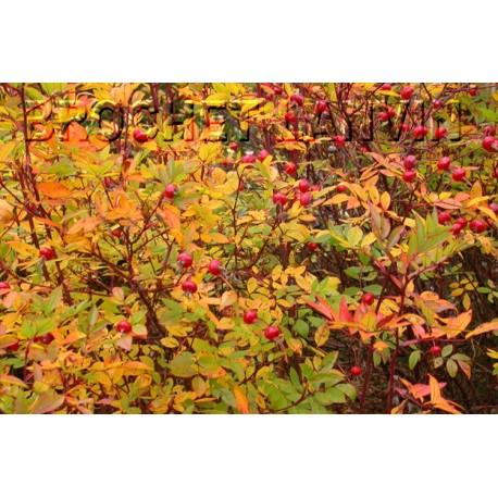 Rosa carolina 'Dart's Presance' – rosier botanique - Rosaceae