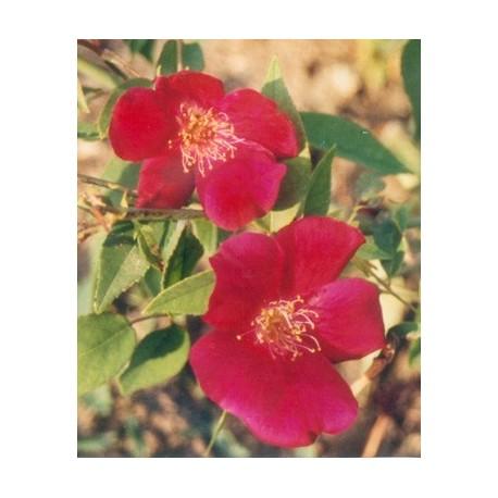 Rosa chinensis 'Sanguinea' - rosiers botanique- Rosaceae