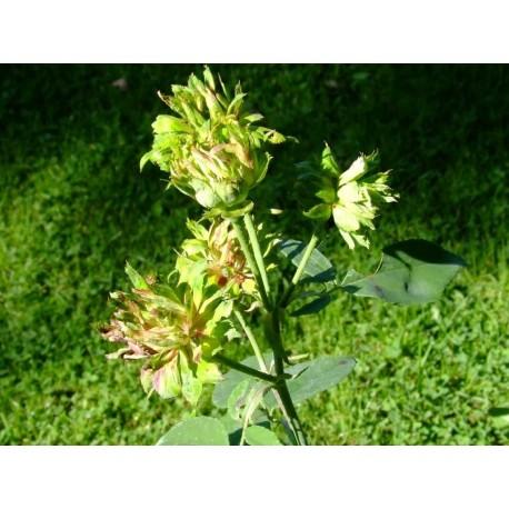 Rosa chinensis f. viridiflora- Rosaceae – rosier