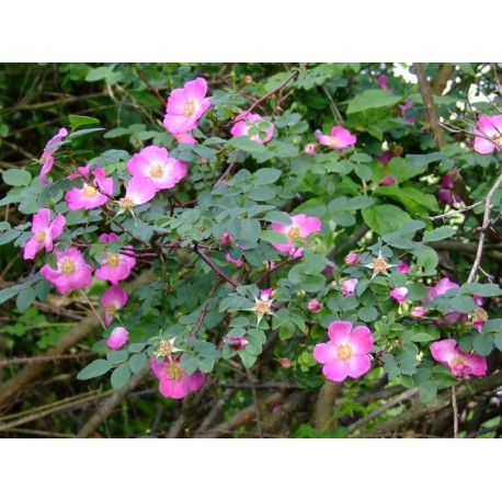 Rosa farreri f.persetosa - Rosaceae - Rosier