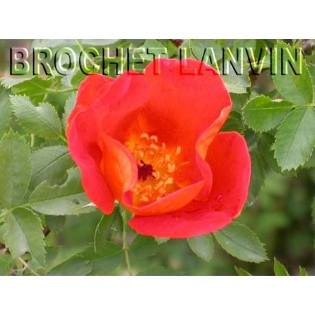 Rosa foetida var bicolor - Rosaceae - rosier