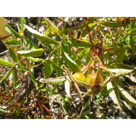 Rosa foliolosa – Rosaceae – rosier