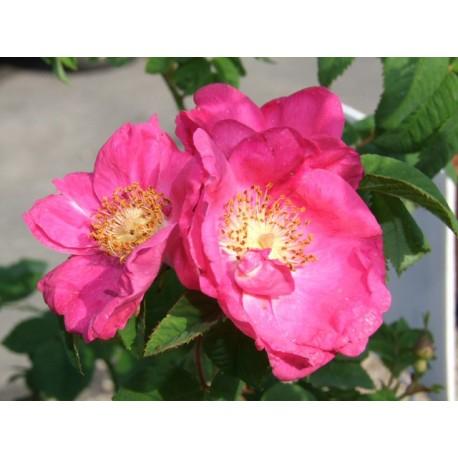 Rosa gallica 'Splendens' - Rosaceae - rosier