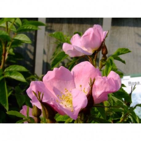 Rosa blanda var glabra - Rosaceae - rosier