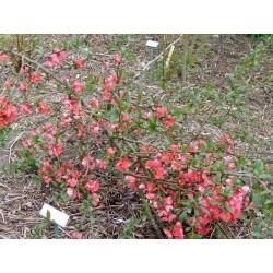 Chaenomeles speciosa 'Eximia' - Cognassier à fleurs