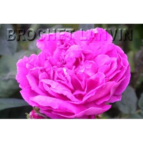 Rosa centifolia f.muscosa' - Rosaceae - rosier