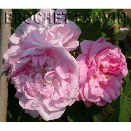 Rosa x damascena - Rosaceae - rosier