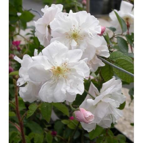 Rosa 'Adelaide d'Orléans' - Rosaceae - Rosier grimpant