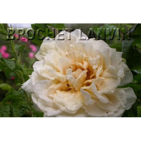 Rosa 'Agnes' - Rosaceae - Rosier
