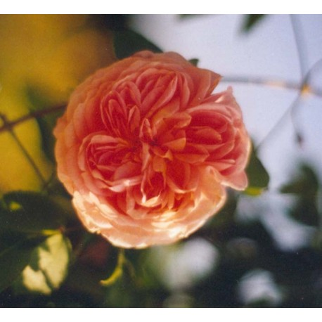 Rosa 'Alchemist' - Rosaceae - Rosier grimpant