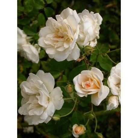 Rosa 'Alister Stella Gray' - Rosaceae - Rosier grimpant