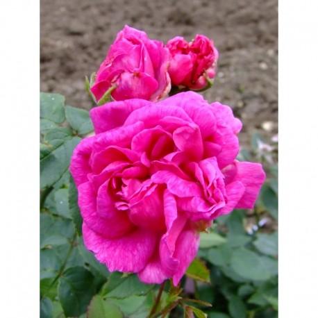 Rosa 'Amédée de Langlois' - Rosaceae - Rosier