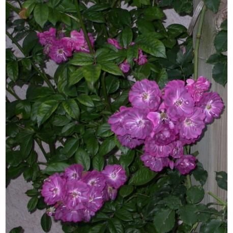 Rosa 'Amethyste' - Rosaceae - Rosier