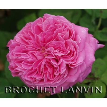 Rosa 'Anna de Diesbach' - Rosaceae - Rosier