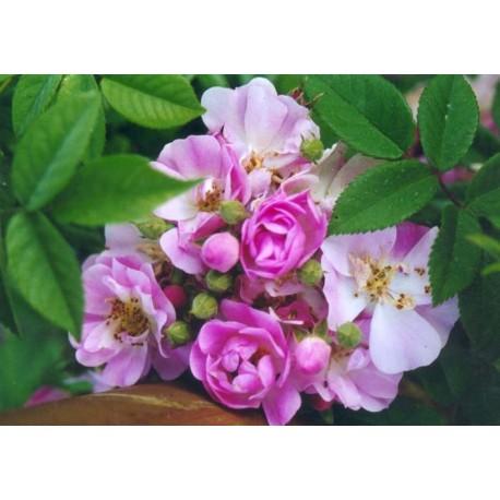 Rosa 'Apple Blossom' - Rosaceae - Rosier liane