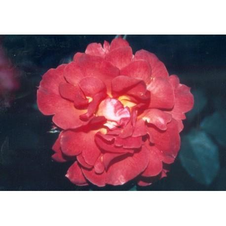 Rosa 'Arielle Dombasle (R)' - Rosaceae - Rosier grimpant
