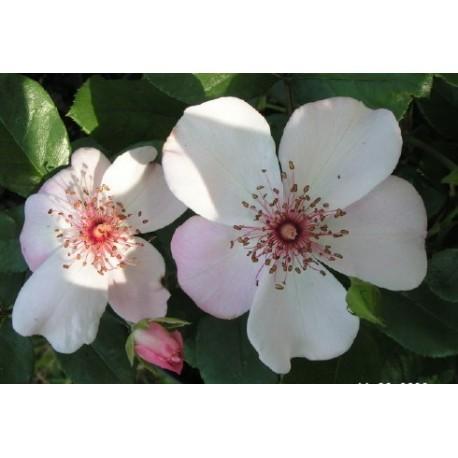 Rosa 'Astronomia ' - Rosaceae - Rosier