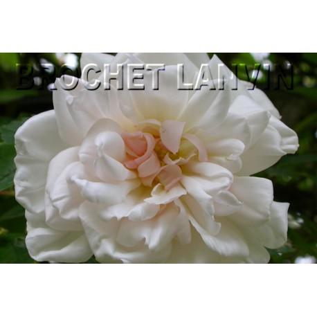 Rosa 'Auguste Gervais' - Rosaceae - Rosier