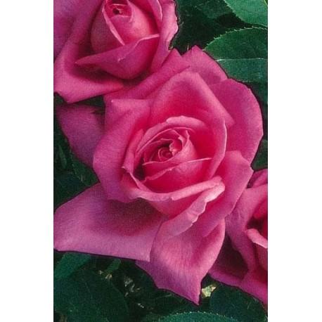 Rosa 'Aveu' - Rosaceae - Rosier nain à bouquet
