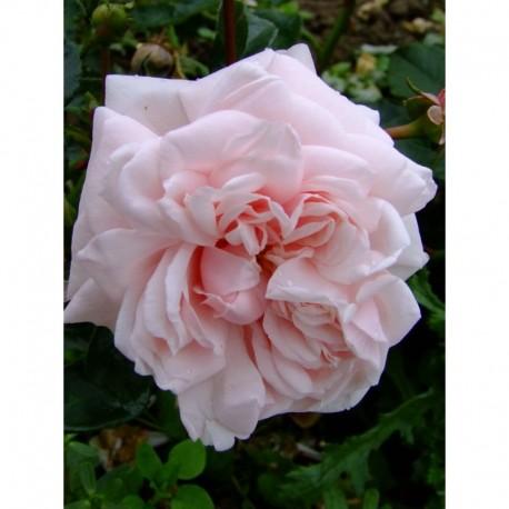 Rosa 'Awakening' - Rosaceae - Rosier grimpant