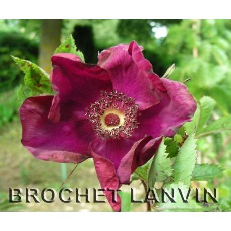 Rosa 'Basye's Purple Rose' - Rosaceae - rosier