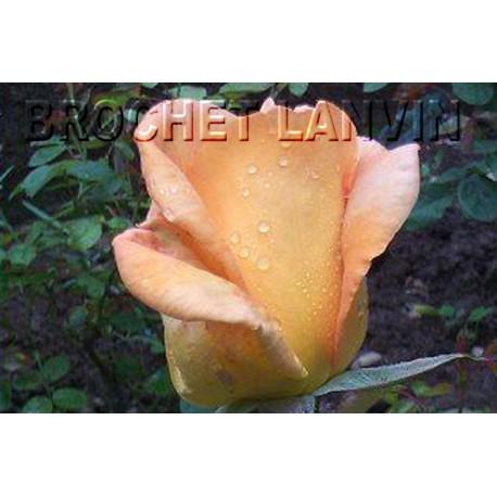 Rosa 'Beauté' - Rosaceae - Rosier nain à bouquet