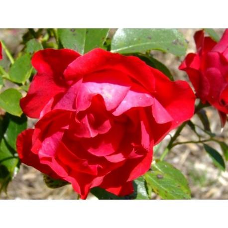 Rosa 'Black Forest Rose' - Rosaceae - Rosier couvre-sol