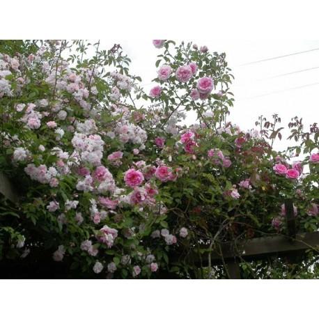 Rosa 'Blairi 2' - Rosaceae - Rosier grimpant
