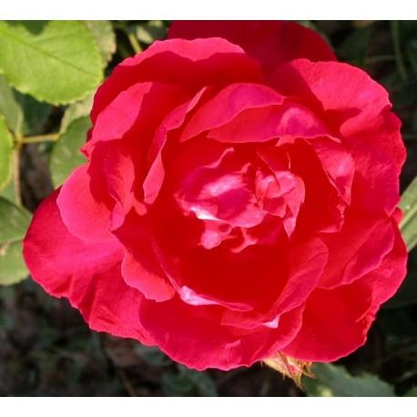 Rosa 'Blaze' - Rosaceae - Rosier