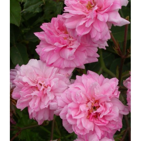 Rosa 'Bougainvillea' - Rosaceae - Rosiers arbustes -rose ancienne