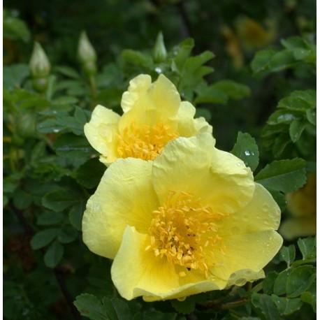 Rosa 'Canary Bird' - Rosaceae - Rosier