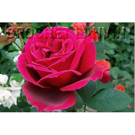 Rosa 'Chrysler Imperial' - Rosaceae - Rosier nain à bouquet