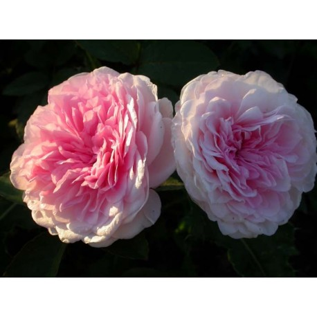 Rosa 'Clothilde Soupert' - Rosaceae - Rosier nain