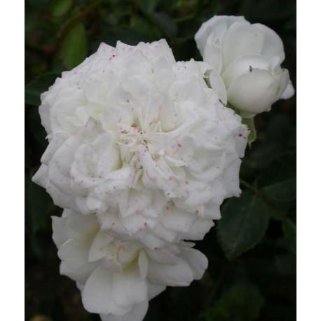 Rosa 'Denise Cassegrain' - Rosaceae - Rosier