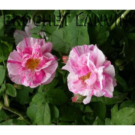 Rosa 'Rosa Mundi' - Rosaceae - Rosier