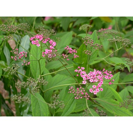 Spiraea bella -Spirée élégante