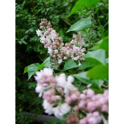 Syringa vulgaris 'Beauty of Moscow' - Lilas Commum